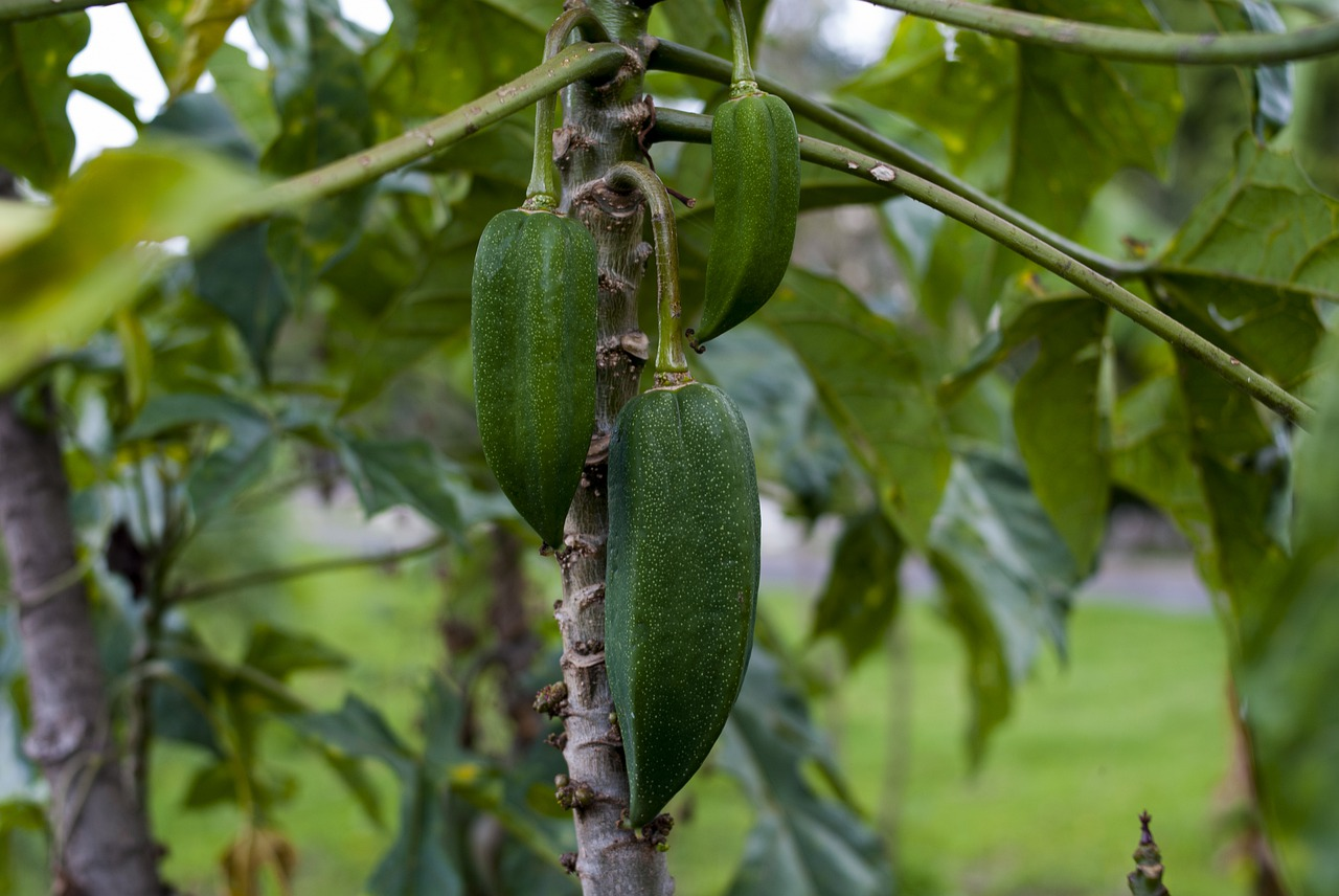 Egzotyczny owoc babaco